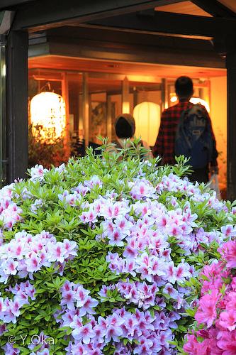 ホテル昴玄関のツツジ