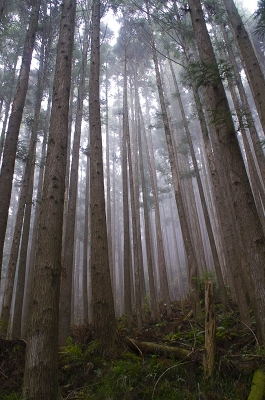十津川村の杉