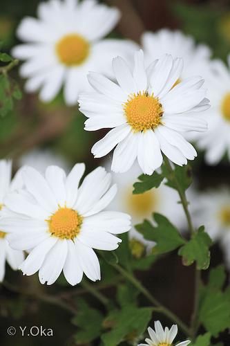 玉置山野菊