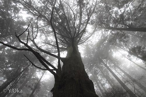 杉の巨杉郡