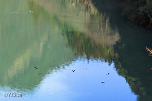 二津野ダム湖オシドリ