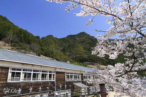 折立の桜 | 十津川村観光協会お...