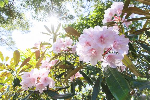 石楠花まつりホンシャクナゲ
