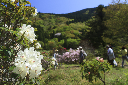 石楠花まつり園内