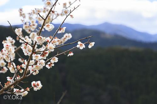 早春の十津川と梅の花