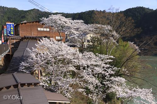 十津川温泉庵の湯の桜