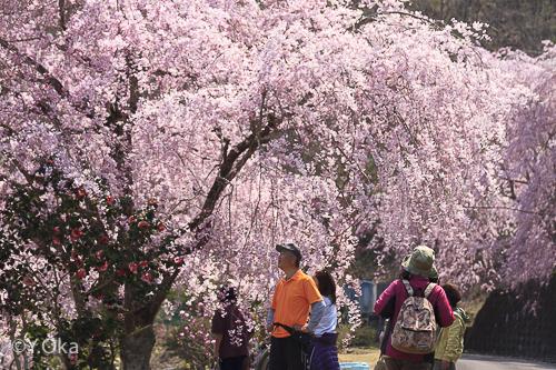 上湯川の七朗桜が満開 | 十津川村観光協会お知らせ