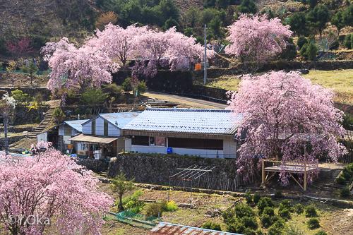 しだれ桜の里の椎茸園 | 十津川村観光協会お知らせ