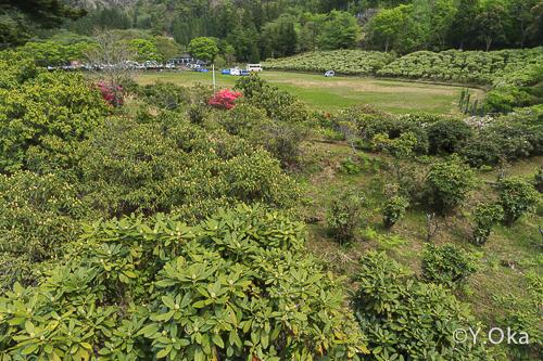 21世紀の森のシャクナゲ