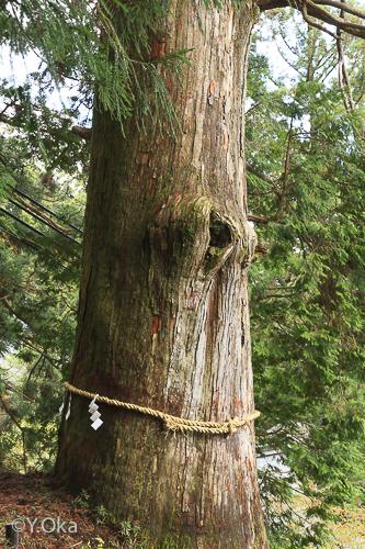 しめ縄かけかえいわれ杉