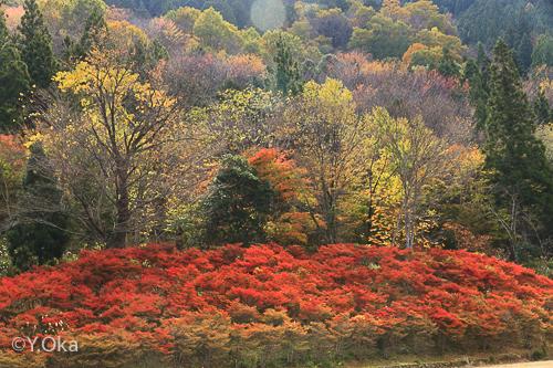 21世紀の森ドウダンツツジ紅葉