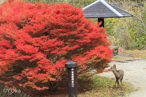 子鹿と紅葉