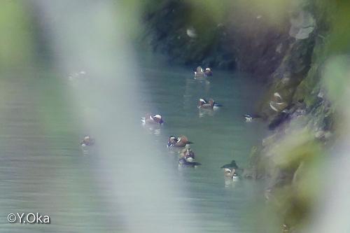 二津野湖オシドリ