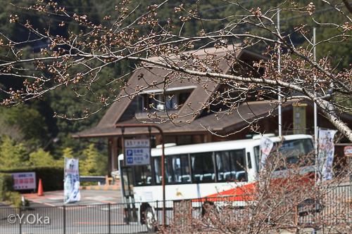 十津川温泉のカモ