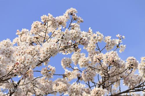十津川温泉の桜