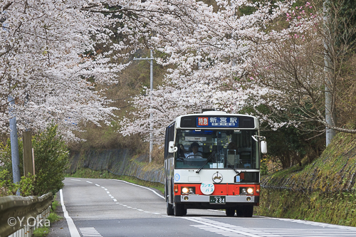 小原の桜並木とバス