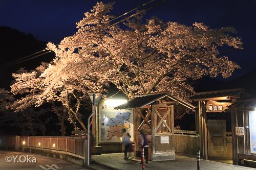 十津川温泉の夜桜