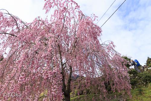 果無のしだれ桜