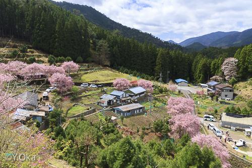 秘境に咲く市原の七朗桜 | 十津川村観光協会お知らせ