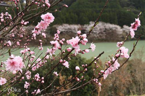 鈴入桃の花と桜