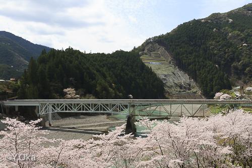 折立橋と桜