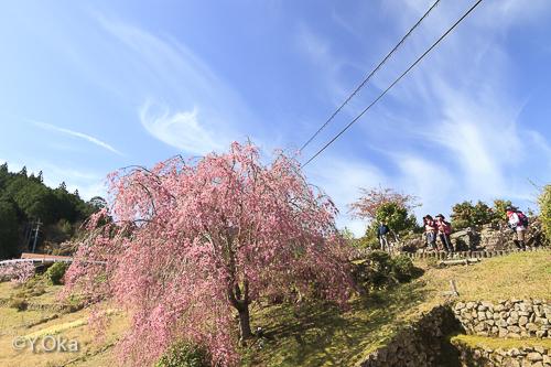 果無集落の桜