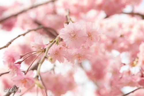 上湯川の七朗桜が見ごろ | 十津川村観光協会お知らせ