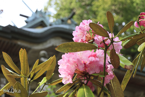 玉置神社シャクナゲ