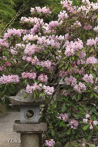 玉置神社石楠花