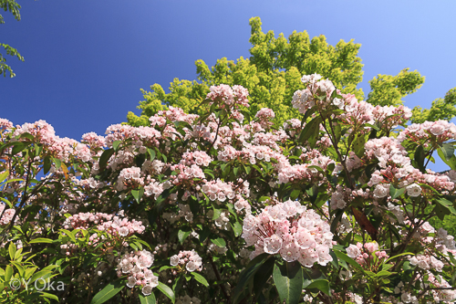 石楠花花がら摘み