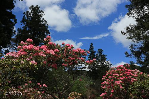 石楠花まつり