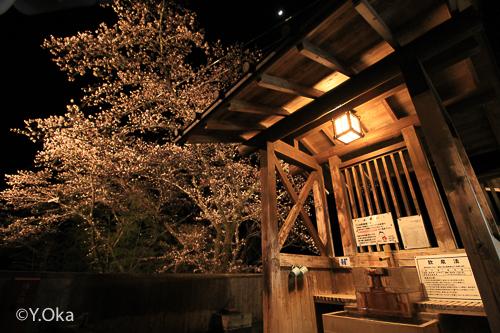 十津川温泉夜桜