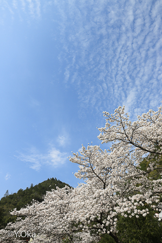 十津川温泉 桜