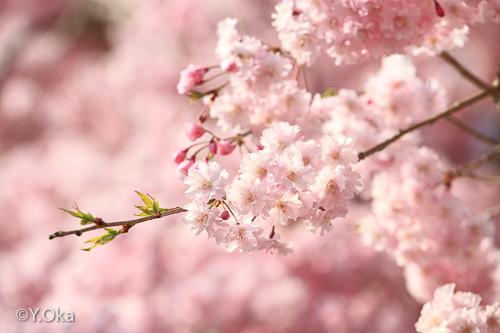 果無集落のしだれ桜