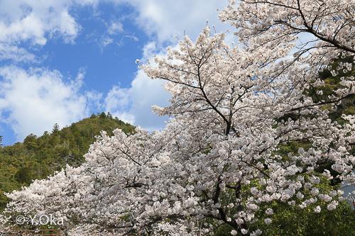 十津川温泉の桜満開!