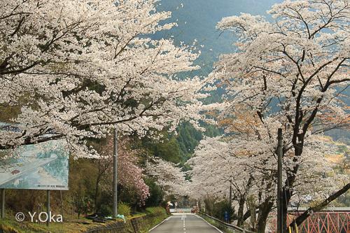 湯泉地温泉(小原)の桜満開!
