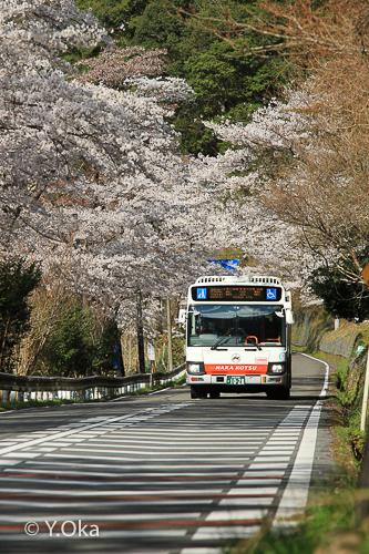 満開の桜並木と日本一長い路線バス