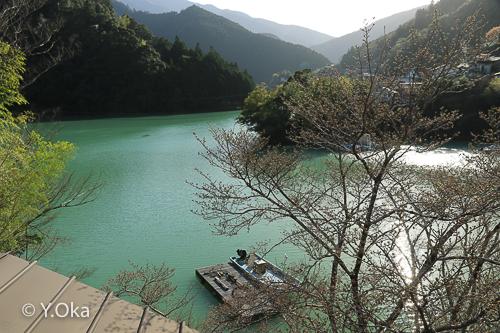 十津川村桜開花