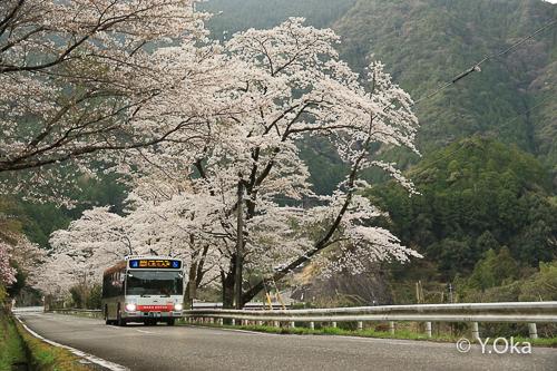 十津川村桜見ごろ