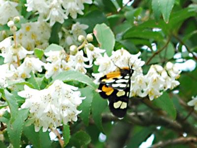花の蜜を吸うチョウ