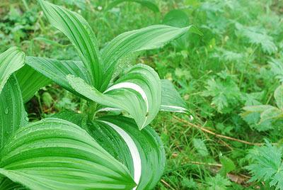 この葉にだけ白い線が