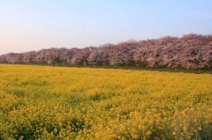幸手市権現堂堤の菜の花とさくら並木