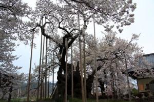 実相寺の高山神代桜