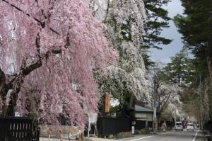 角館の枝垂桜