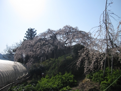 内子町石畳地区・東の枝垂れ桜