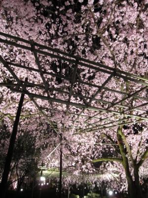 平安神宮・夜桜