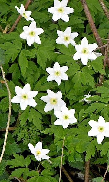 フィンランドの母の日に森から摘んで贈る花ヴォッコ