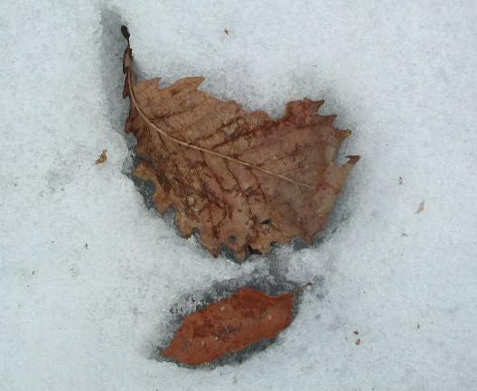 雪の上に落ちた葉っぱたち