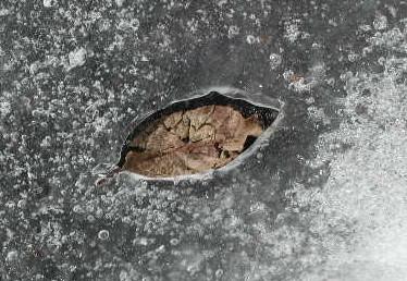 氷に囲まれている葉っぱも・・・