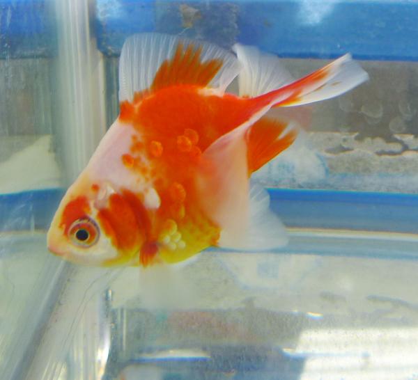 桜土佐錦魚